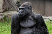 Silverback Gorilla Print by Scott Hill