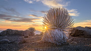 Hawaii Prints - Silversword Sunburst Print by Todd Kawasaki