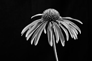 Brian Mollenkopf - Simple Coneflower in...