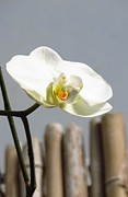 Anita Adams - Simple White Orchid