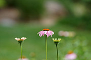 Cone Flowers Framed Prints - Simplicity Framed Print by Ernie Echols