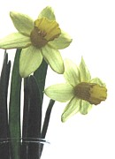 Angela Davies - Simply Daffodils