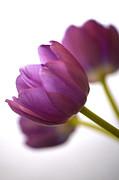 Simply Purple Print by Deb Halloran