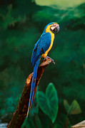 Perched Photos - Singapore Macaw At Jurong Bird Park  by Anonymous