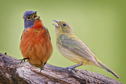Romeo And Juliet Prints - Singing Buntings Print by Bonnie Barry