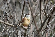 Rosanne Jordan - Singing Carolina Wren