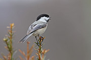 Jim Nelson - Singing Chickadee