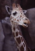 Open-mouthed Posters - Singing Giraffe Poster by Anna Lisa Yoder