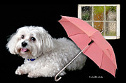 Maltese Dog Posters - Singing in the Rain Poster by Starlite Studio