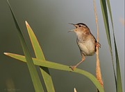 Bird Calling Prints - Singing Marsh Wren Print by Daniel Behm