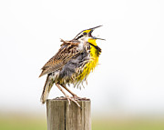 Scruffy Framed Prints - Singing Meadowlark 3rd of 3 Framed Print by Bill Swindaman