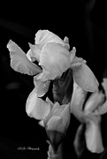 Purple. Iris. Buds Photos - Singing Praise In Black and White by Jeanette C Landstrom