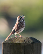 Anita Oakley - Singing Song Sparrow