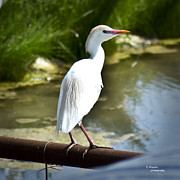 Teresa Dixon Metal Prints - Single Cattle Egret Metal Print by Teresa Dixon