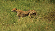 Leopard Running Framed Prints - Single cheetah running through the grass Framed Print by Deborah Benbrook