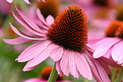 Denyse Duhaime - Single Cone Flower Beauty