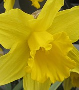Jonquils Photos - Single Daffodil 2 by Cathy Lindsey