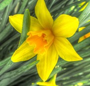 Blooms Prints - Single Daffodil 4 Print by Cathy Lindsey
