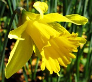 Jonquils Photos - Single Daffodil by Cathy Lindsey