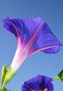 11th Green Photos - Single Ipomoea Purpurea Against Blue Sky by Tracey Harrington-Simpson