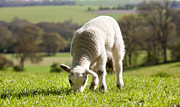 Simon Bratt Photography Acrylic Prints - Single lamb eating grass Acrylic Print by Simon Bratt Photography