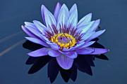 Single Lavender Water Lily Print by Byron Varvarigos