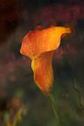 Single Orange Cala Print by Jennifer Apffel