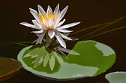Water Lily Leaves Framed Prints - Single Pale Pink Water Lily Framed Print by Linda Phelps