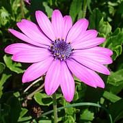 Tracey Harrington-Simpson - Single Pink African Daisy Against Green Foliage