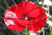 11th Green Photos - Single Red Poppy Flower  by Tracey Harrington-Simpson