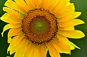 AnnaJo Vahle - Single Sunflower