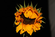 Renee Braun - Single Sunflower