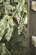 Grape Vineyards Prints - Single Vine Print by Agrofilms Photography