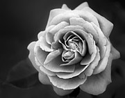 Tree Roses Photos - Single White Rose by Susan Candelario