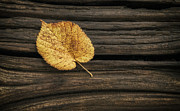 Log Photos - Single Yellow Birch Leaf by Scott Norris