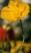 Robert Lozen Posters - Single Yellow Poppy Poster by Robert Lozen