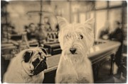Westie Terrier Framed Prints - Singles Night Framed Print by Edward Fielding