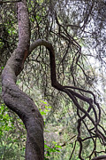 Kate Brown - Sinuous Tree