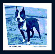Champion Digital Art - Sir Barney Blue. Champion Boston Terrier by Pierpont Bay Archives