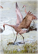 Cranes Framed Prints - Sir Sandhill Framed Print by Carol Groenen