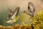 Green Monster Prints - Siskin argy bargy Print by Izzy Standbridge