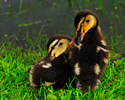 Ducklings Framed Prints - Sisters 2 Framed Print by John Blanchard