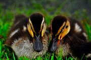 Ducklings Framed Prints - Sisters 3 Framed Print by John Blanchard