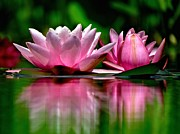 Lotus Flower Photos - Sisters by Carol R Montoya