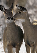 Whitetail Digital Art - Sisters by Gerald Marella