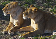 Roar Photos - Sisters by Robert Harmon