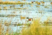 Mallards Photos - Sitting Ducks by Scott Pellegrin