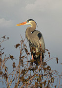 Heron Portrait Posters - Sitting High Poster by Kathy Baccari