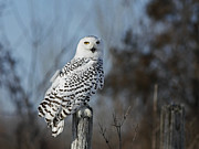 Snowy Night Posters - Sitting on the Fence- Snowy Owl Perched Poster by Inspired Nature Photography By Shelley Myke
