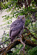 Snowy Night Metal Prints - Sitting Owl Metal Print by Athena Mckinzie
